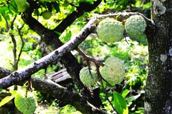 Phương pháp giúp cây na ra quả theo ý muốn nhà nông 1