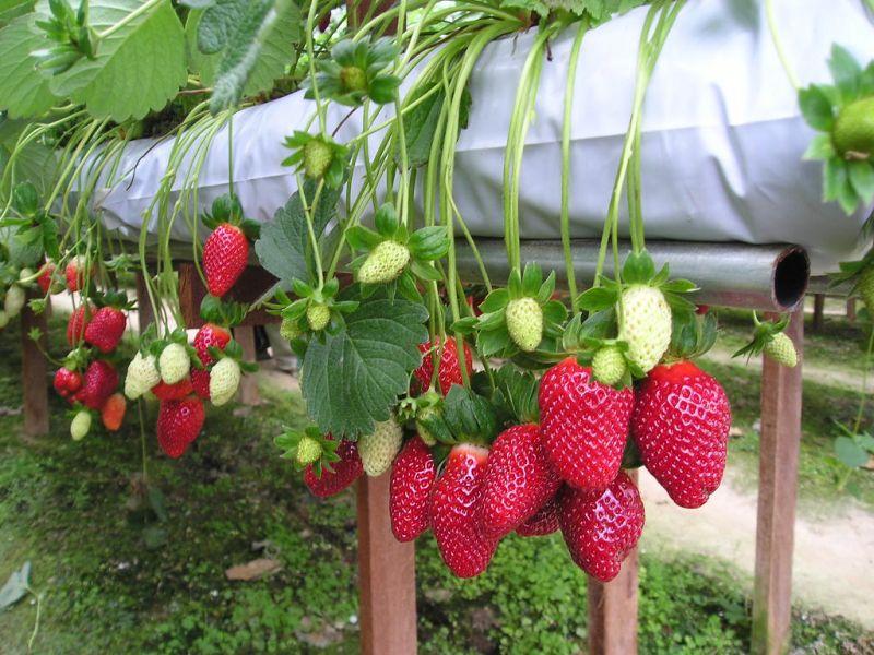 Hoa quả tươi Đà Lạt