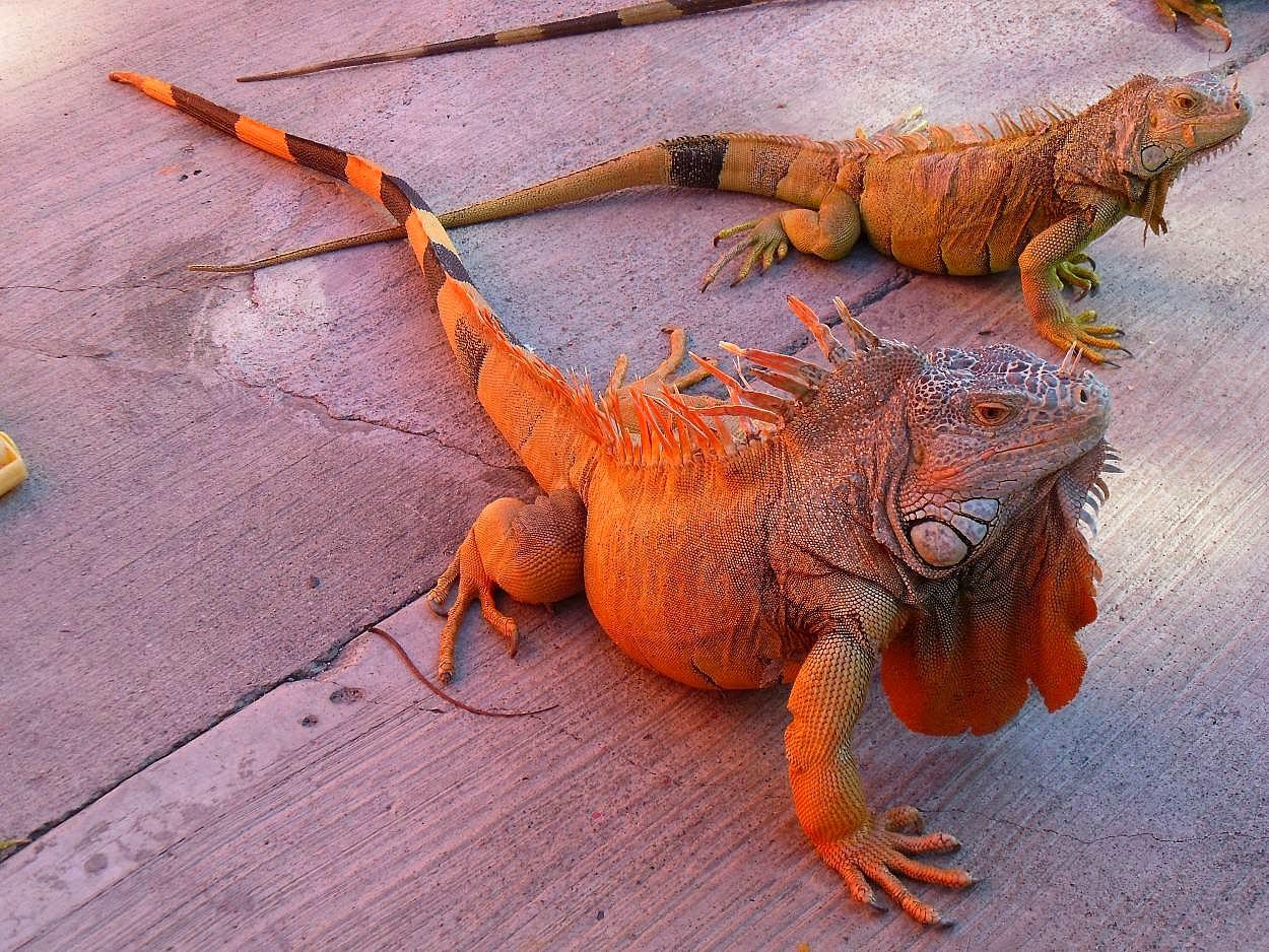 iguana - Rồng Nam Mỹ