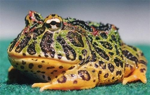 ếch pacman