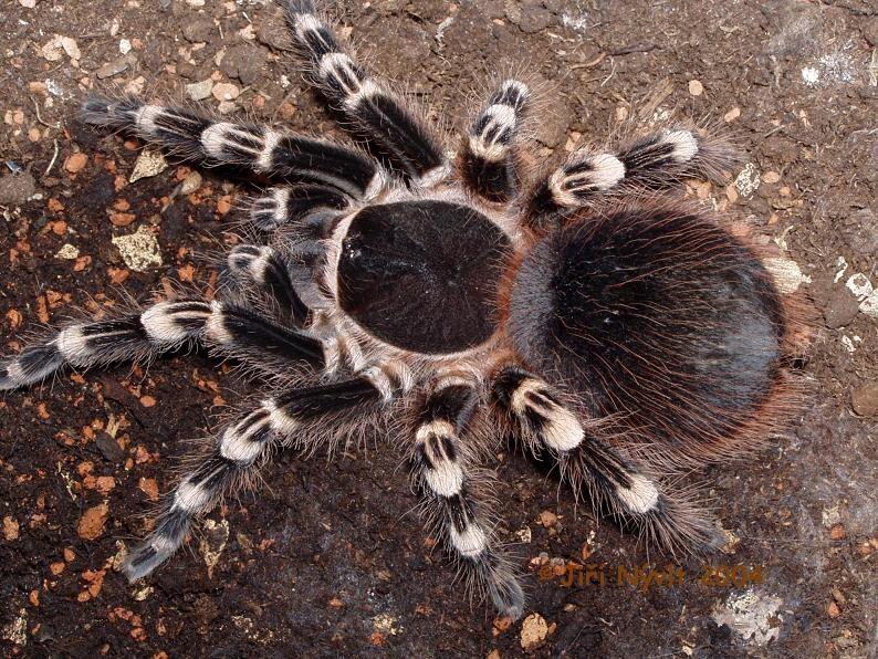 nhện cảnh