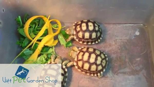 Rùa cảnh ăn rau xanh