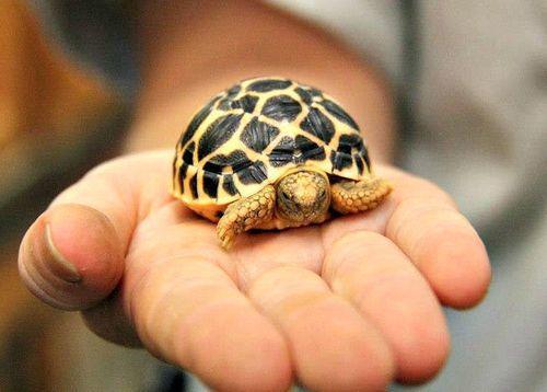 Tìm hiểu một số thông tin về đặc điểm tập tính của thú cưng rùa